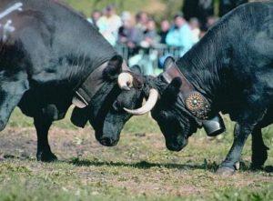 Batailles-de-Reines@turismoValledAosta-300x221 Das Aostatal kürt die Königin der Kühe