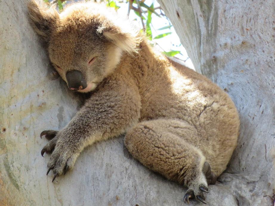 Tipps vom Koala zum Tag des Schlafes (21.6.) – Schlafexperte rät: Aufmerksamkeit vom Schlafen weglenken