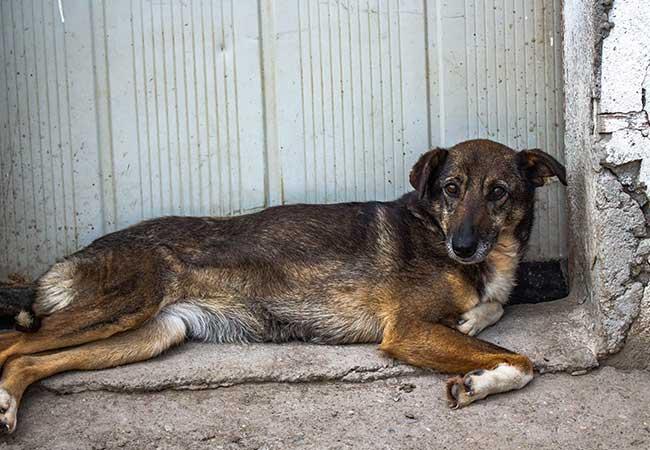 Rumänische Straßenhunde: Sie sterben in Massen