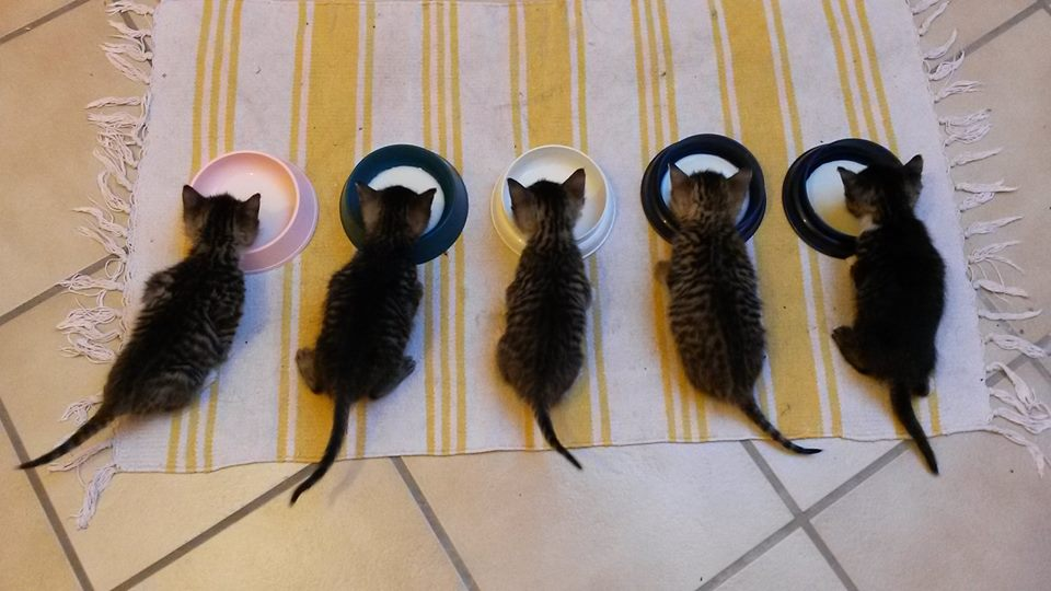 Welttierschutztag: Bund Deutscher Tierfreunde fordert Kastrationspflicht für Katzen